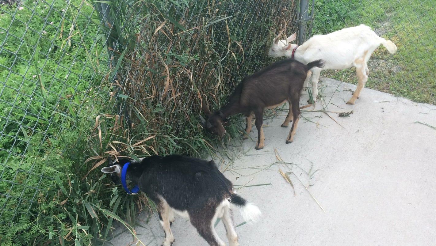 R Goats Goats found near busy ...