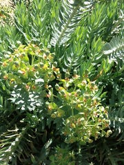 Euphorbias are succulents that grow into lush mounds