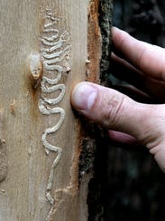 """The """"gallery"""" track created by an emerald ash borer"""