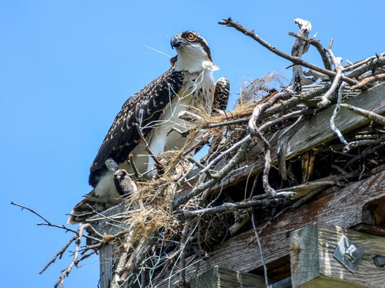 A 7-week-old osprey nestling entangled in monofilament netting