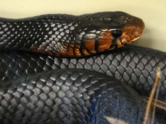 An eastern indigo snake relaxes in his container during Creepy Crawly Day at the Enchanted Forest Sanctuary in Titusville.  Photo by Craig Bailey.