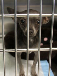 An underweight Chihuahua waits in the intake area at