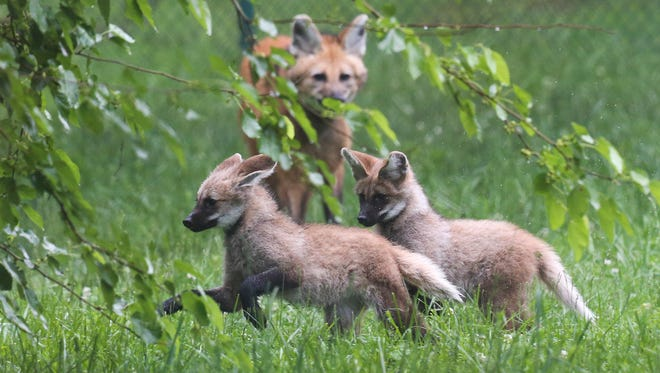 Two female maned wolf pups stay close to their mother, Sadie, as they walk around their enclosure at the Louisville Zoo.  The pups are the offspring of Sadie and Rocko.  The gestation for wolf pups is about the same as domestic dogs, about two months.  Maned wolves are are solitary and are native to South American and can be found throughout Brazil, Paraguay, Argentina, Bolivia, Peru and Uruguay.  They are omnivores and their diet consists of fruit and small mammals, birds and reptiles, insects, nuts, eggs and grass.May 11, 2017