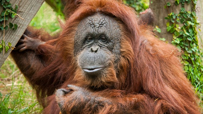 Cheyenne the orangutan was saved by doctors from Houston's top hospitals.
