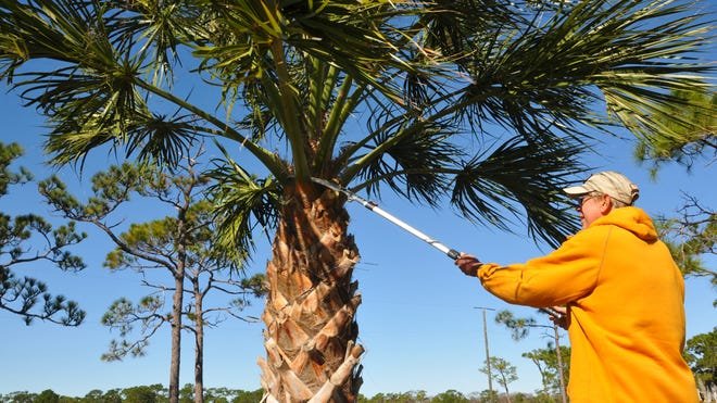 There has been a trend in Florida for homeowners  and tree trimmers to overtrim their palm trees. Certified arborist Avalon Standstall recommends just trimming off the seedpods and only trimming fronds that fall below a horizontal line.
