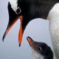 """A gentoo penguin feeds its baby at Station Bernardo O'Higgins in Antarctica. """"To understand many aspects in the diversity of animals and plants itís important to understand when continents disassembled,"""" said Richard Spikings, a research geologist at the University of Geneva."""