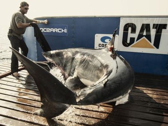 The Ocearch team prepares to capture and tag a 14-foot, 2,300 pound great white shark in August 2013. The shark would become known as Katharine