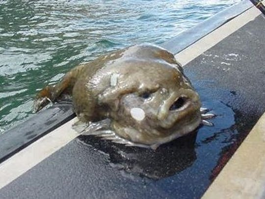Lumpfish are prized for their roe.