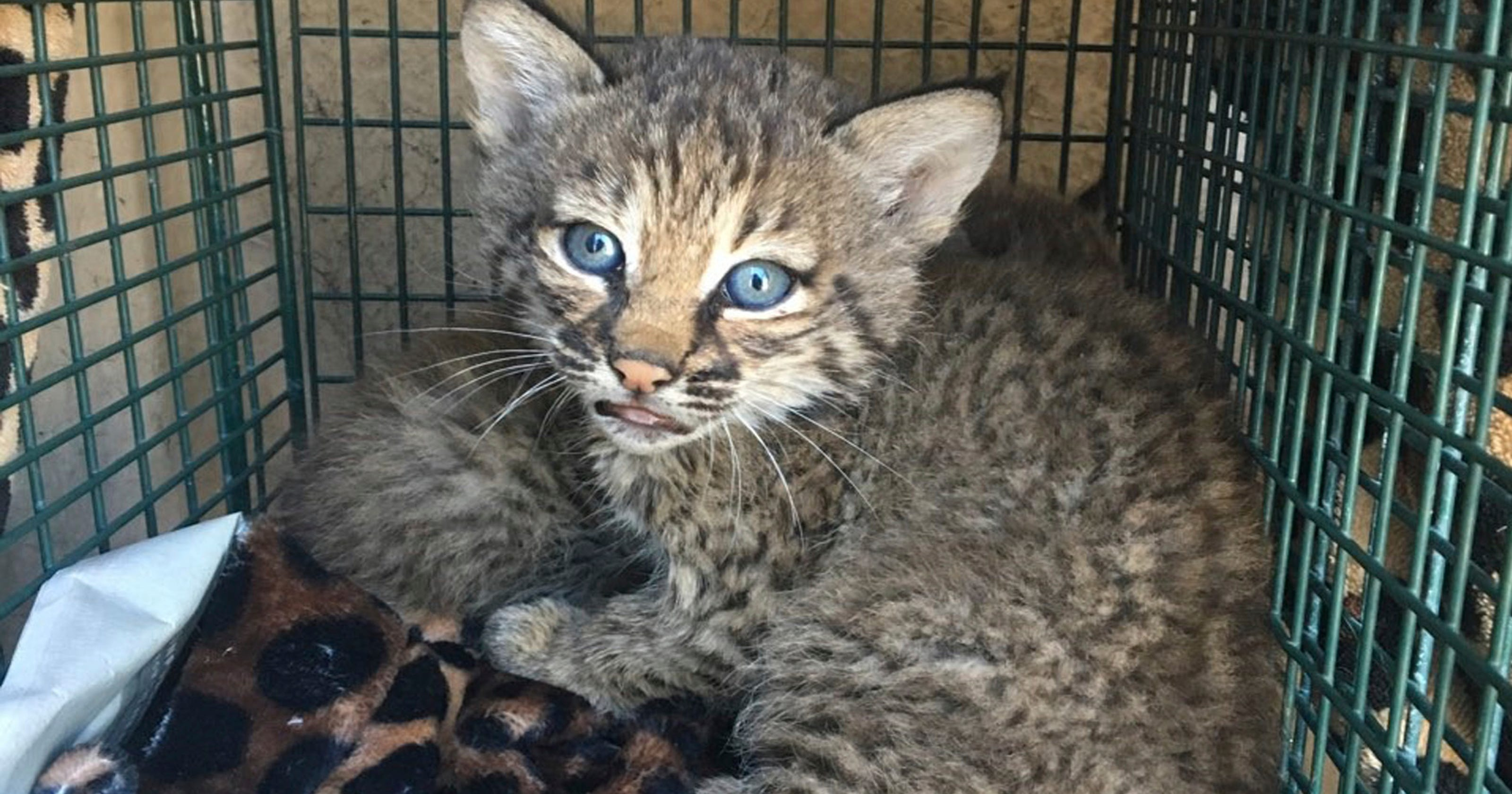 san antonio bobcats 3 hurt when 39 kittens 39 turn out to be baby bobcats. Black Bedroom Furniture Sets. Home Design Ideas