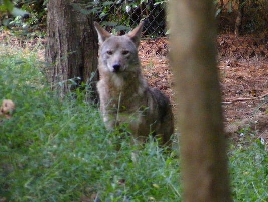 new male red wolf.jpg