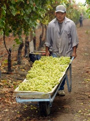 Enrique Meza-Avila, pictured, of Lindsay, hauls a load of freshly picked Autumn King grapes ready for packaging at Sundale Vineyards, 23631 Road 140, Tulare.