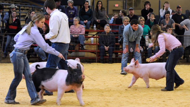 Judge Josh Brockman, center, of Montgomery, watches as contestants parade their pigs past him during the Taylor County Livestock Show on Friday, Jan. 20, 2017, at the Taylor County Expo Center.