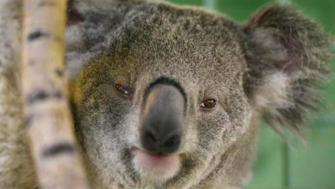 Luke, a 5-year-old koala at the ABQ BioPark Zoo, and the zoo's only koala, has died of cancer.
