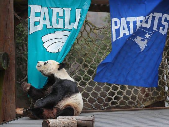 Le Le, one of the Memphis Zoo's giant pandas picks
