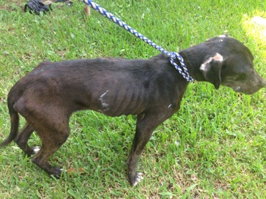 This dog, now named Sweet Luck, is recovering after being found emaciated when chained and padlocked to a tree in Jonesville. The dog is expected to be available for adoption in about two weeks. Anyone interested in adopting Sweet Luck should call 318-339-9643.