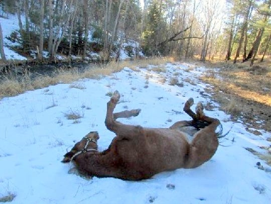 Spanky stops the ride for a cool roll in the snow.