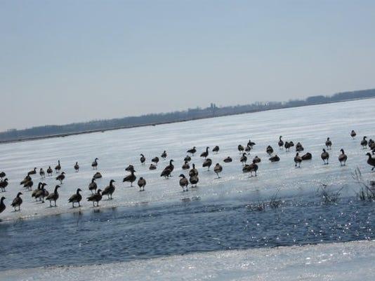 636252573922302632-geese.jpg