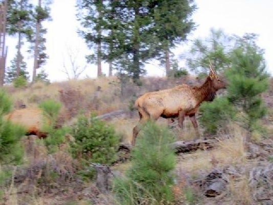 climbing elk