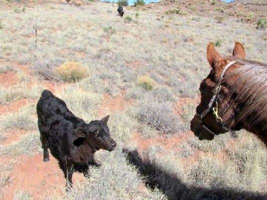 confrontation calf and horse