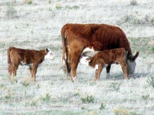 Two calves take turns feeding from their mother.