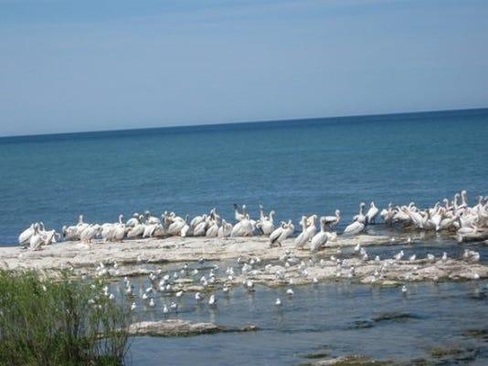 636331284529216039-pelicans.jpg