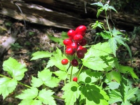 With ample summer rain, berries are popping up everywhere.