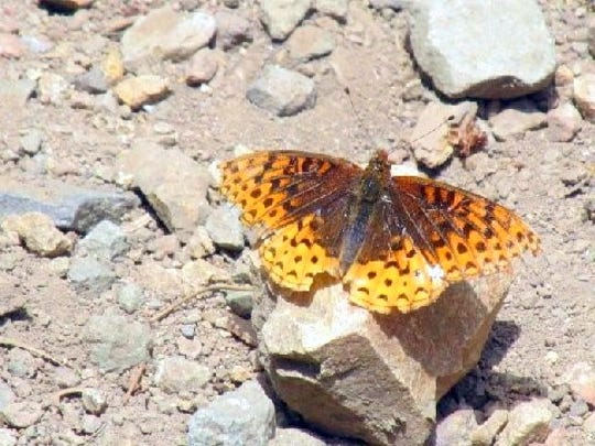 A variegated fritillary butterfly is let out of the big gathering and sits lone on a rock.