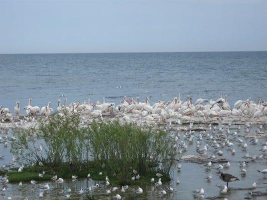 636360853895451000-pelicans2.jpg