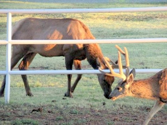 Almost nose to nose on different sides of the fence, a deer buck and an elk cow converse back at the ranch.