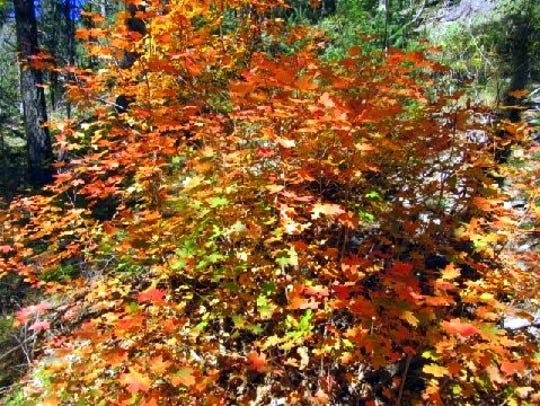 An intense tangle of fall leaves are a treat for the
