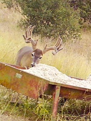 This buck, known as Hellacious, was taken at Camp Verde Ranch recently by former Texas Ranger Clete Buckaloo. The buck, which weighed more than 190 pounds on the hoof, scored more than 192 gross on the Boone and Crockett scoring system.
