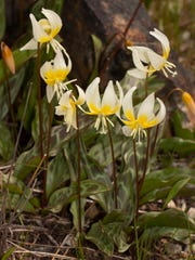 An observer of phenology has to be careful not to miss blooming Sierra fawn lilies. They only bloom in March and April and their blooms are a sure sign that spring is in full swing.