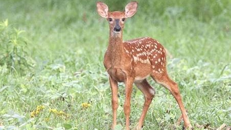 A lone fawn may not be abandoned, just hidden for awhile.