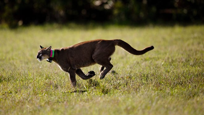 A rehabilitated panther sprints through a field after being released by  state biologists.