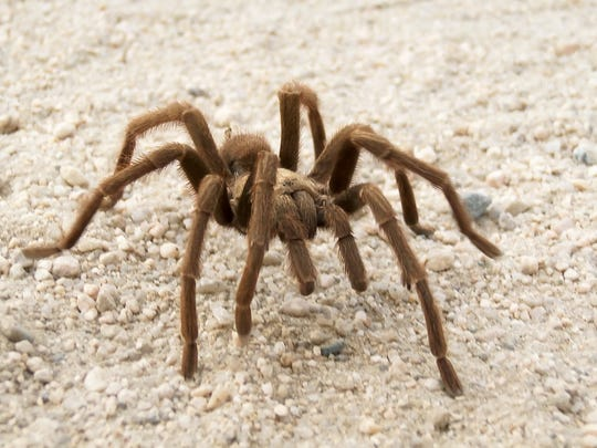 Desert Tarantula: One of the more than 850 species of the largest spider on Earth. Photogenic nature makes them popular props in horror movies. Also kept as pets.