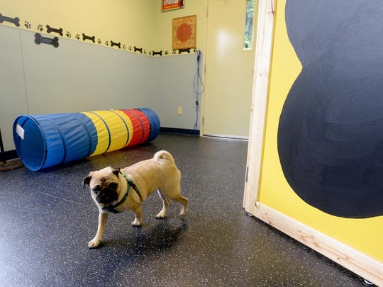 Arlo Stastany wanders around the small dog area of the social club during the grand opening of the Animal Rehab Center and Social Club, an expansion of the Charlotte Street Animal Clinic, on Thursday, Oct. 1, 2015. The social club has separate areas for large and small dogs.