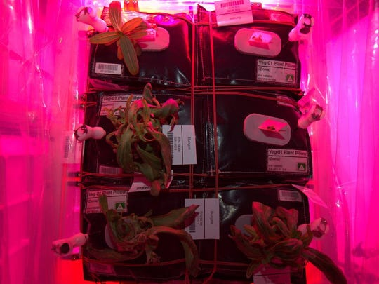 In a Dec. 27 Twitter message, NASA astronaut Scott Kelly expressed concern about the health of zinnia flowers growing aboard the International Space Station as part of Kennedy Space Center's Veggie experiment.