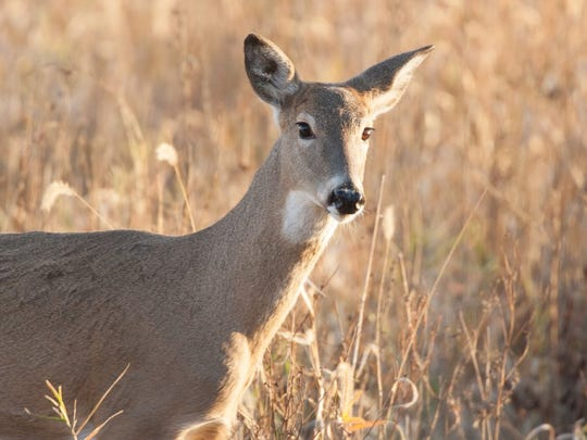 The antlerless portion of the 2016 deer season brought out many hunters who hadn't taken a deer during the regular November firearm portion of the season a chance to harvest a deer.   Missouri deer hunters harvested 6,491 antlerless deer during the three-day hunt.