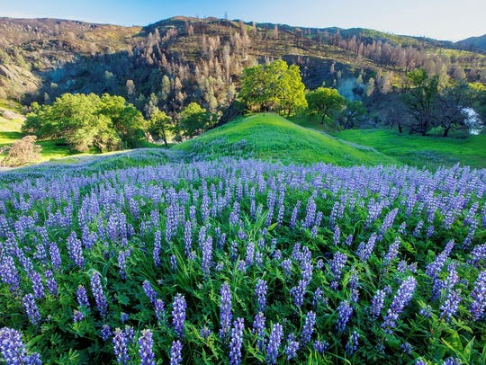 Wildflowers spread out across a hillside in Berryessa