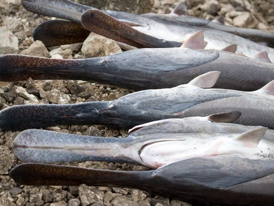 A look at these fish shows why they are called paddlefish