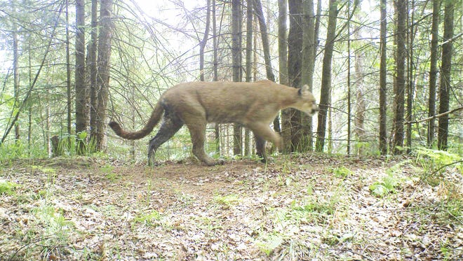 A cougar in the Upper Peninsula
