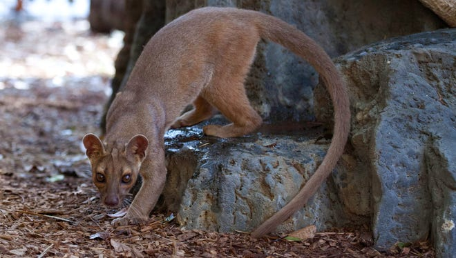 When the Naples Zoo got the two fossa seven years ago it was the only zoo in the Southeast to have them.