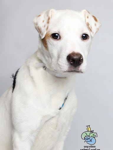 Oliver is a 4-month-old terrier mix. He is microchipped and up-to-date on shots and will be neutered before he is adopted. Oliver is available at Young-Williams Animal Center on Division Street. For more information, call 865-215-6669 or visit www.young-williams.org.