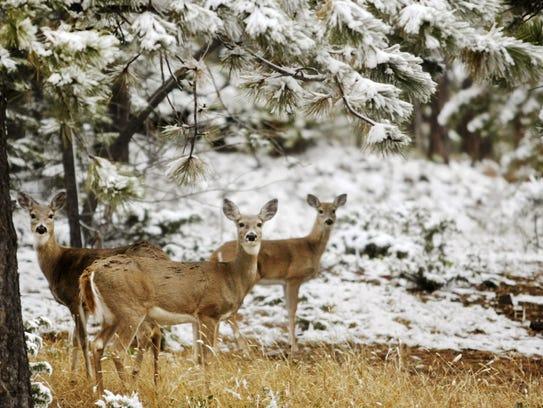 Chronic wasting disease is fatal to deer, elk and moose.