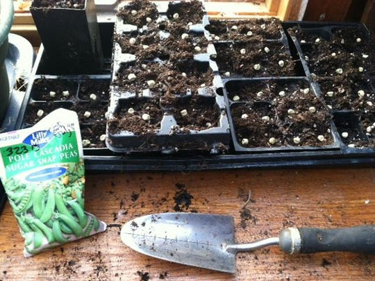 Starting seedlings indoors and as backup for outdoor planting insures successful yields.