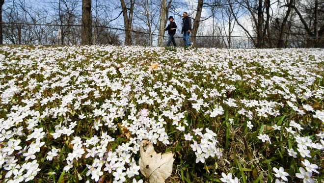 Walkers on Henderson's Riverwalk are greeted by a carpet of flowers on Monday, which was the last day of winter. Meanwhile, as spring arrives Tuesday, there's a chance of snow showers for Henderson.