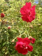 Louie Philippe roses