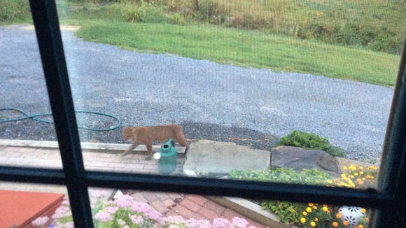 This tailless feral cat was photographed by Jim Fitzgibbon on August 31, 2015 outside his family's home in Branchport, Yates County.