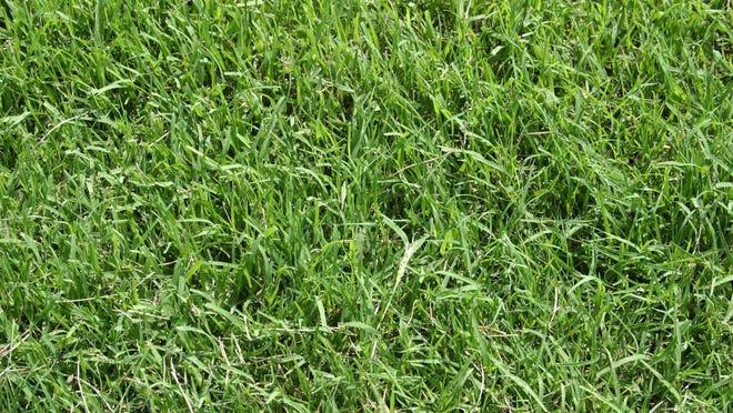 Bermuda grass thrives when summer temperatures approach 90°F.