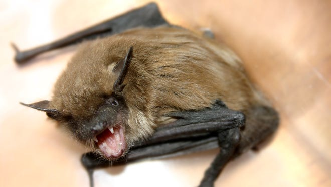 A rabid bat was found in the Upstate recently.